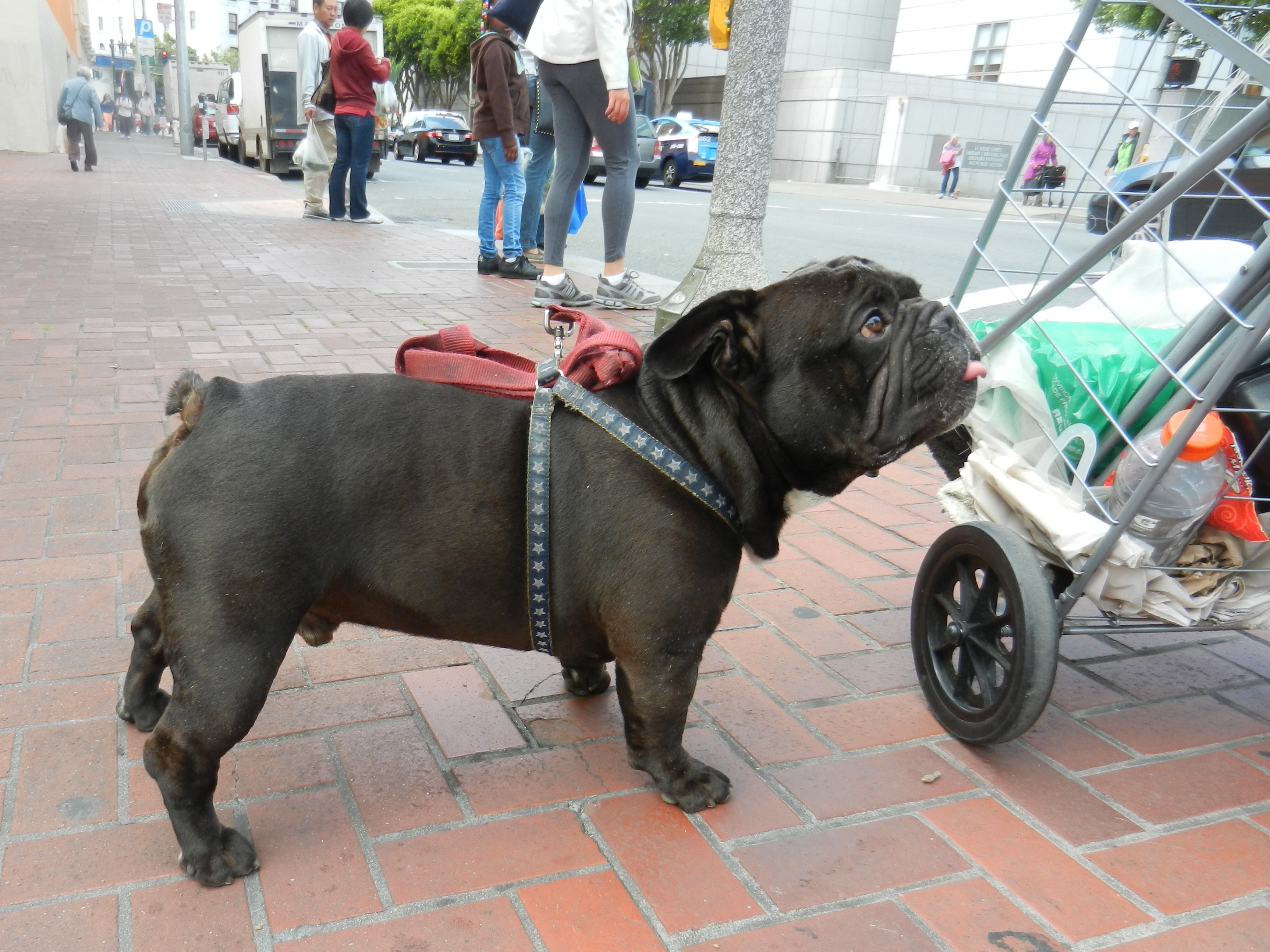 English Bulldog | The San Francisco Scene--Seen!