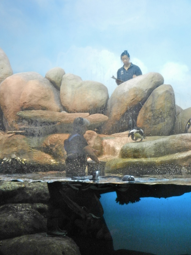 Penguin Feeding Time at the Academy of Sciences, 5 October 2013