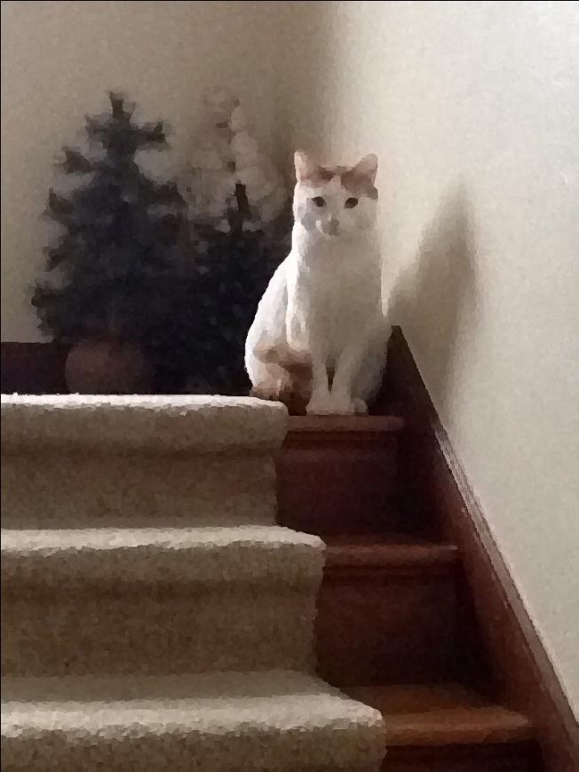 Houdini the Cat Awaits Santa.